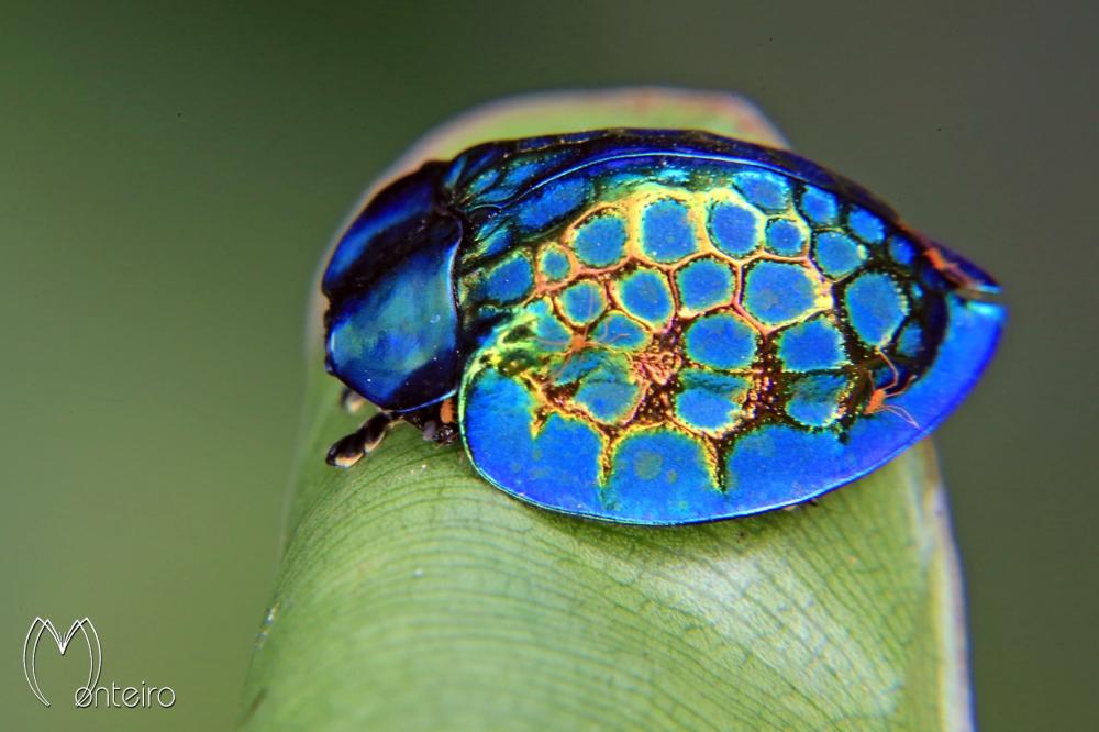 imperial_tortoise_beetle