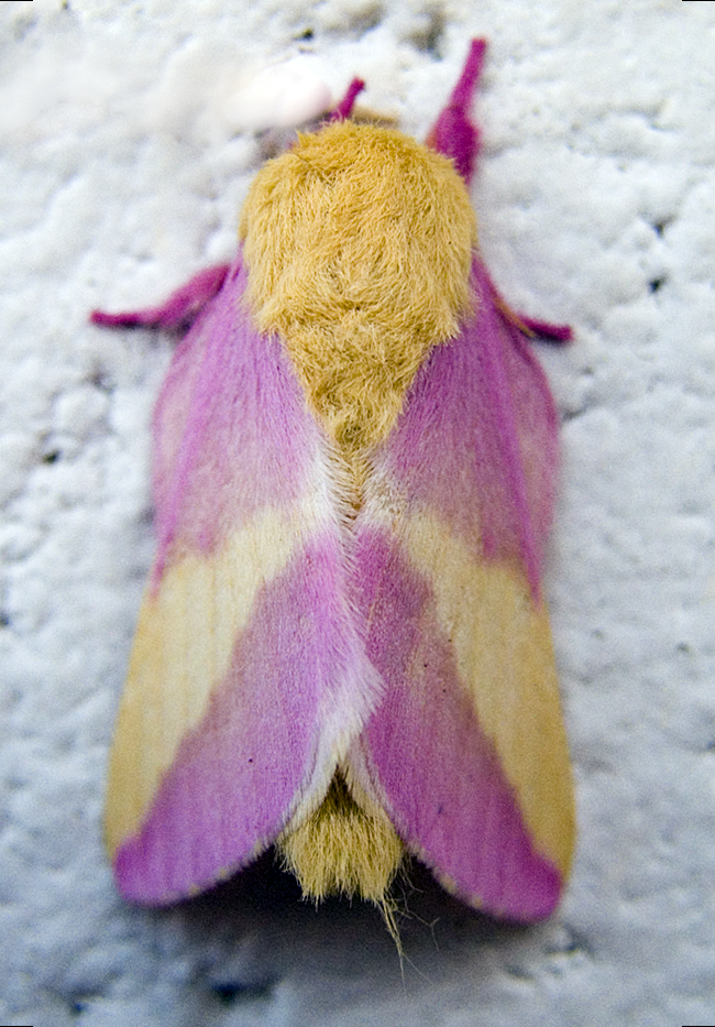 rosy_maple_moth